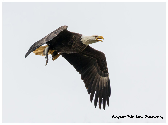 Adult Bald Eagle with Fish
