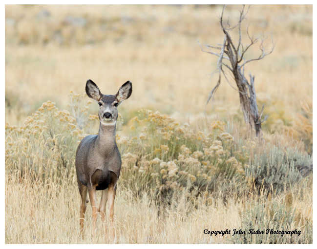 Mule Deer  Female